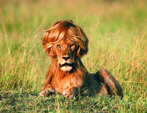 do lions lose their mane when neutered