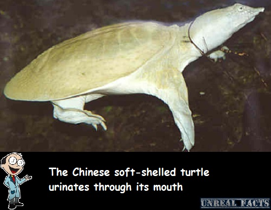 turtle urinates through mouth