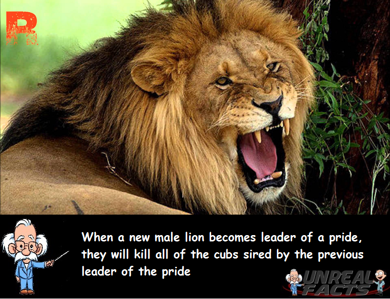 male lions kill cubs