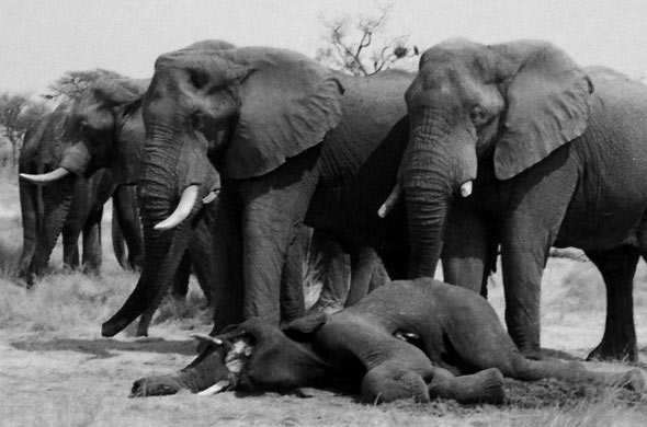 elephants stand after death